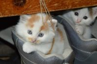 Kittens in shoes image